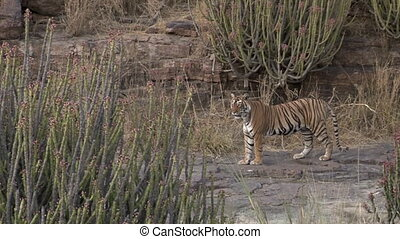 Bengal tiger between Cacti plants - Bengal tiger Panthera...