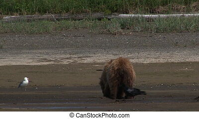 Grizzly Bear eating clams - Grizzly Bear Ursus arctos...
