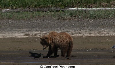 Grizzly Bear eating clams - Grizzly Bear (Ursus arctos...