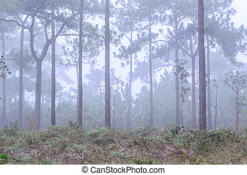 Pine tree with mist on morning.