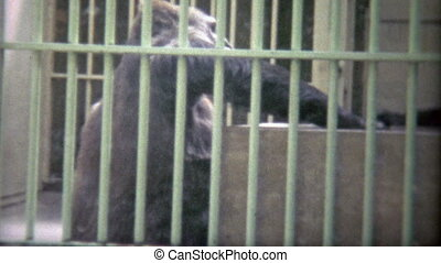 1973: Large gorilla trapped in sad - Original vintage 8mm...