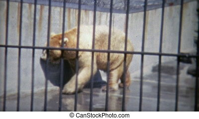 1973: Grizzly bears just chillin - Original vintage 8mm film...