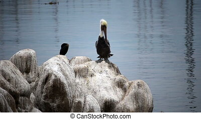 Pelican Sitting On Rock Preening - Preening Pelican Sitting...