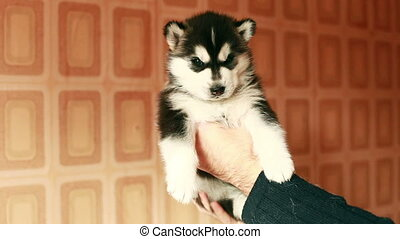 husky puppy in hands - little husky puppy in hands
