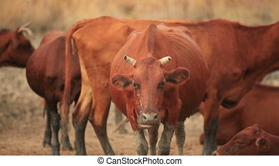 Herd of Cows in the Pasture - Chewing Bull Looks Directly in...