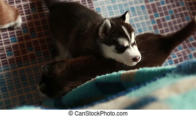 husky puppy playing - sinerian husky puppy playing