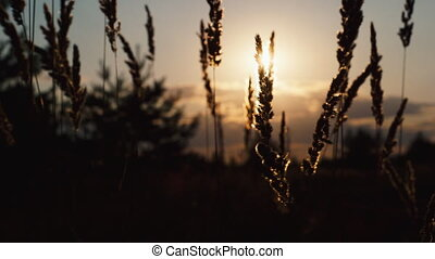sunset light with grass flower - grass on the background of...