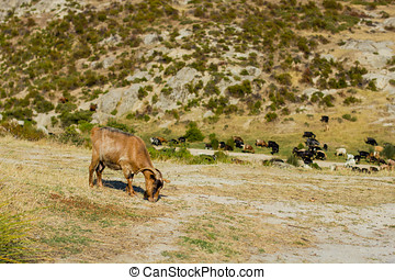 Wild Goats - Wild goats in the Greece.