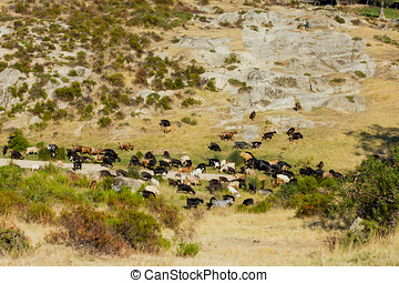 Wild Goats - Wild goats in the Greece