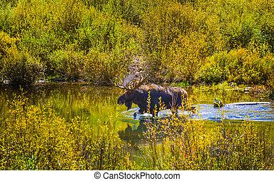 Moose in the Conundrum Creek Colorado - Moose Feeding in the...
