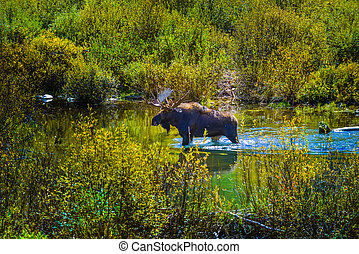 Moose in the Conundrum Creek Colorado - Moose Feeding in the...