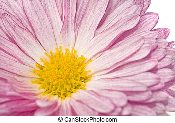Close-up of golden-daisy or chrysanthemum over white