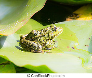 Green frog sitting on a leaf - Green frog sitting on a water...