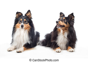 Two Shetland Sheepdogs laying, isolated