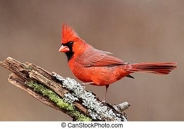 Cardinal On A Stump - Male Northern Cardinal (cardinalis) on...