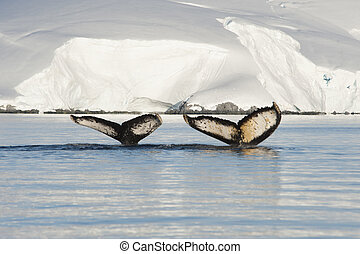 Humpback Whale tail - Two Humpback Whales tails with ice...
