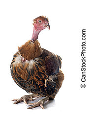 Naked Neck chicken  in front of white background