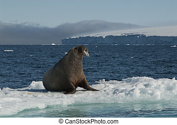Walrus on an ice floe