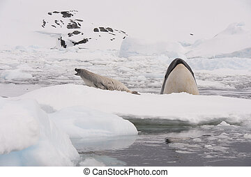 Killer whale spy hanting for Crabeater seal in Antarctica