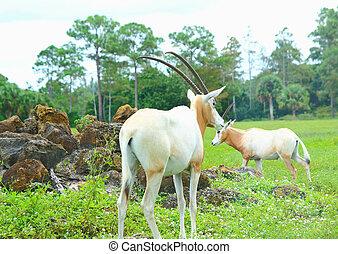 Oryx grazing on savana oasis on the wild