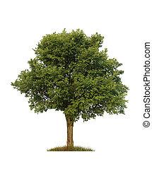 olmo, encima, aislado, árbol, verde, blanco