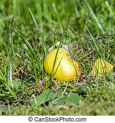 windfall apple in the green grass - detail of windfall apple...