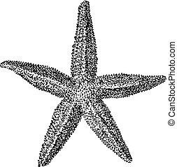 Starfish, vintage engraving. - Starfish, vintage engraved...