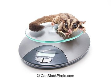 Sugar glider on weigh scales , vet examination