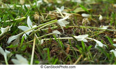 white flower carpet on grass field - Video of white flower...