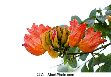 Decorative african tulip tree flower ,flame of the forest...