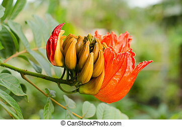Decorative african tulip tree flower ,flame of the forest