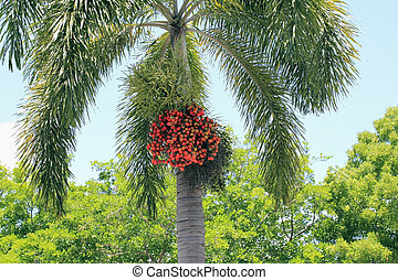 Ripe Palm Tree Fruit - One tropical palm tree with a large...