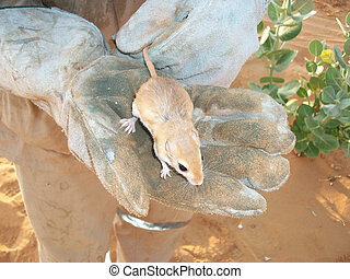 Desert mouse in a hand. Fauna of Arab Emirates.