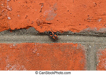 red bugs - Two firebugs mating and walking backwards Spring...