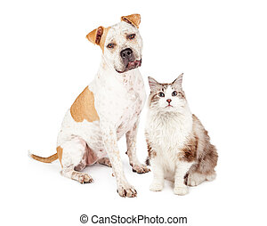 Friendly Pit Bull Dog and Pretty Cat