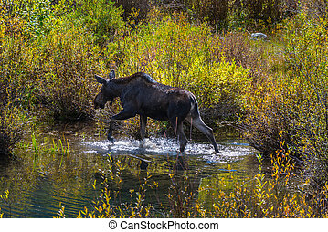 Female Moose in the Conundrum Creek Colorado - Moose Feeding...