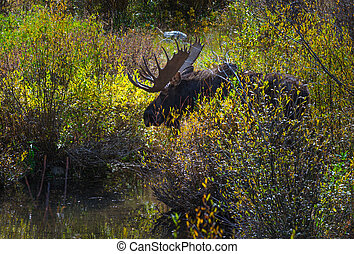Adult Male Moose in the Conundrum Creek Colorado - Moose...