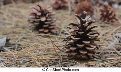 Cones in a pine forest. - A lot of different big cones,...