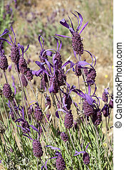Spanish lavender - Flowers of Spanish lavender, Lavandula...