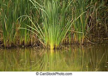 reeds at the pond