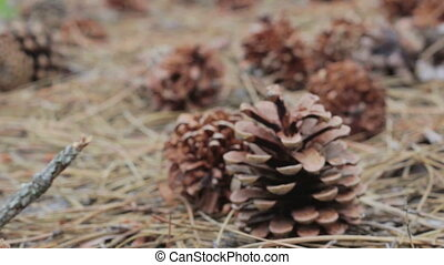 Cones in a pine forest - A lot of different big cones,...