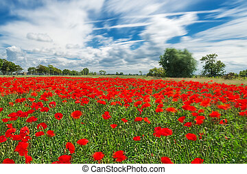 Poppies on a very windy day. Intentional blur to suggest the...