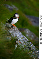 puffins - well known north birds puffins at the norwegian...