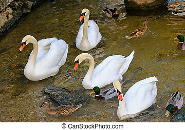 A flock of swans and Mallards, male and female wild ducks,...