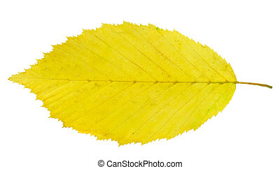 leaf hornbeam - yellow leaf hornbeam isolated on white...