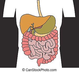 digestive system - Human digestive system vector...