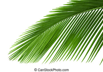 Leaves of palm tree with waterdrop isolated on white...