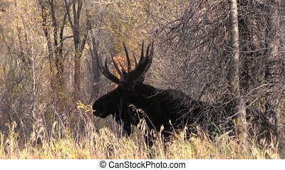 Bull Moose - a big bull moose in the fall