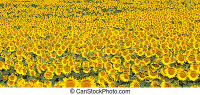 Panorama of a field of sunflowers in morning light