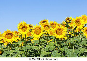 Bright yellow sunflowers against a